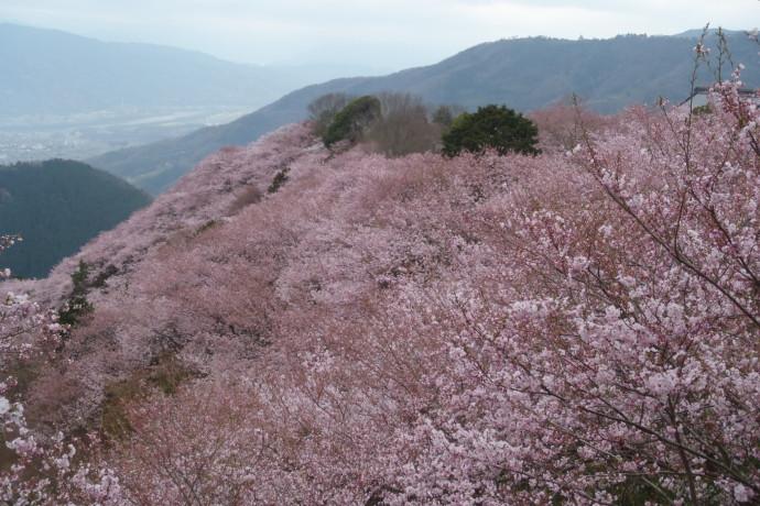 さくらを見に徳島県へウォーキングの旅を案内してきました