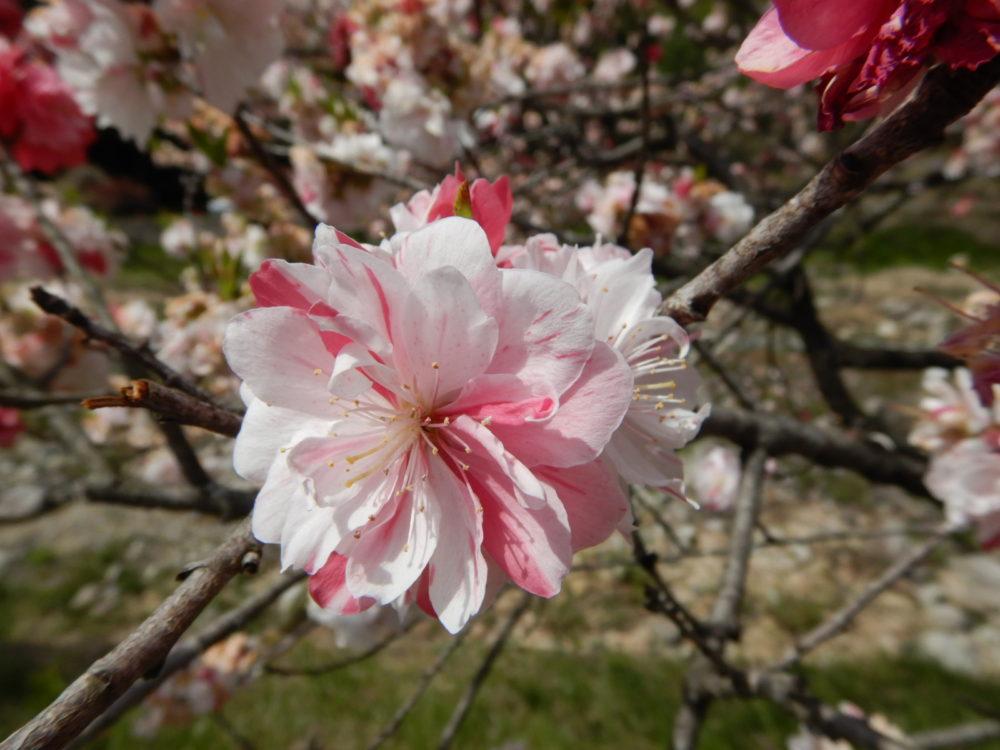 5/1(火)~5/2(水) 日本一の星空ナイトツアー 日本一の花桃の里散策